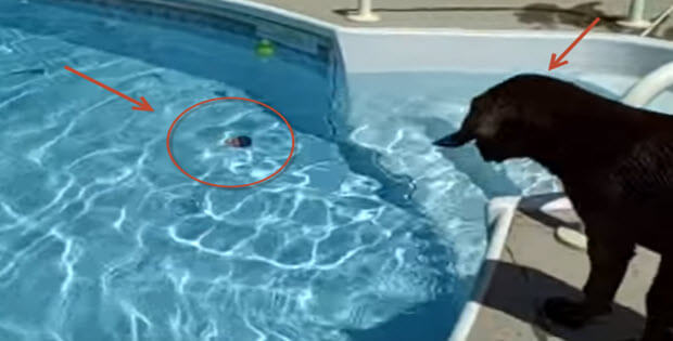 labrador-puppy-jumping-in-pool-first-time
