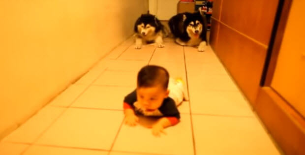 two husky-dogs-with-cute-baby-1