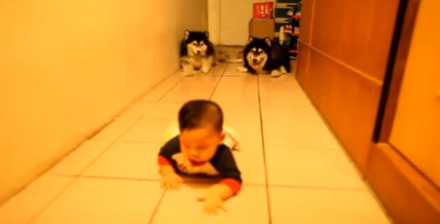 two husky-dogs-with-cute-baby