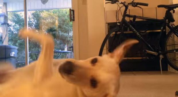yellow-lab-dog-tricks