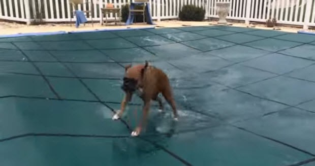 boxers-on-pool-cover1