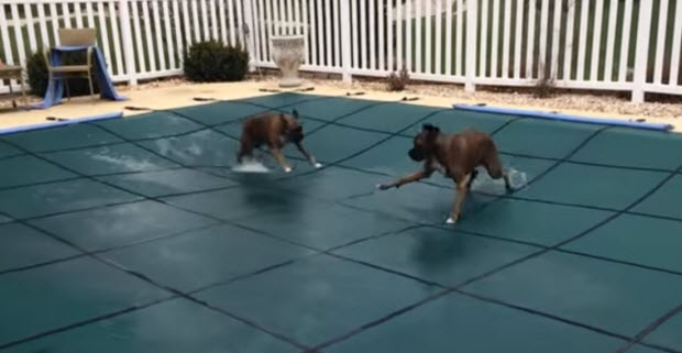 boxers-on-pool-cover2