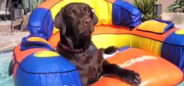 choc labrador retriever in the pool