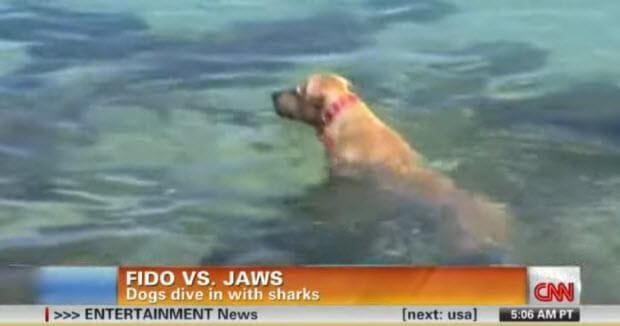 labrador dives and bites shark