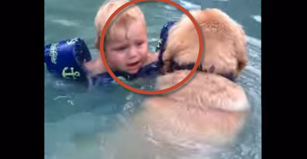This is So Cool – Labrador Drags Toddler Out of The Water Because He Thinks Kid is Drowning