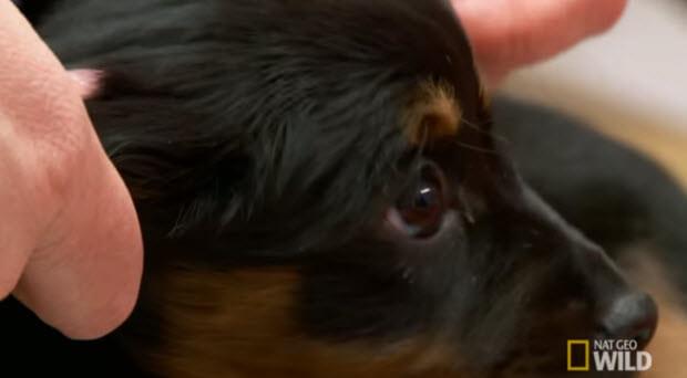 puppy-pravovirus-pravo-virus1
