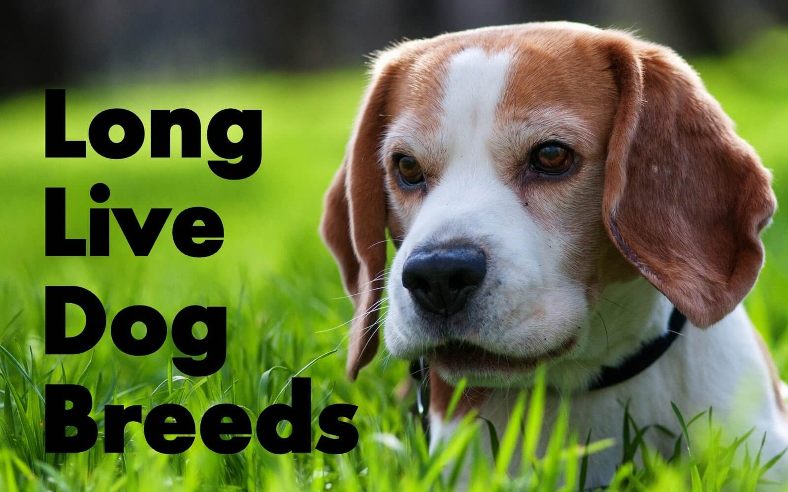 TOP 10 Dog Breeds That Live the Longest