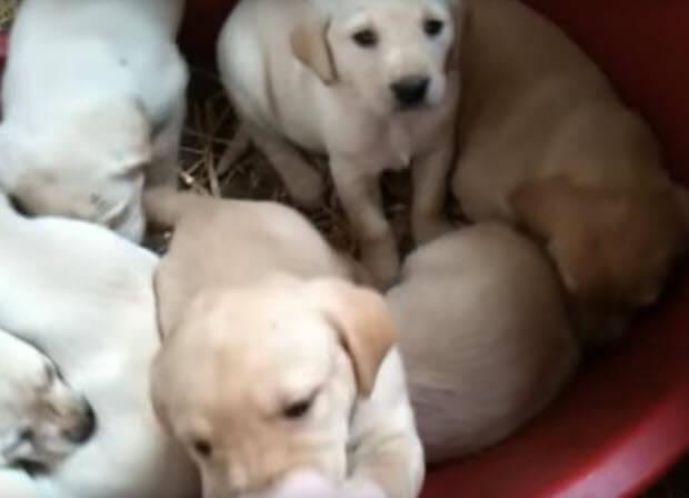 -1labrador-puppy-growing