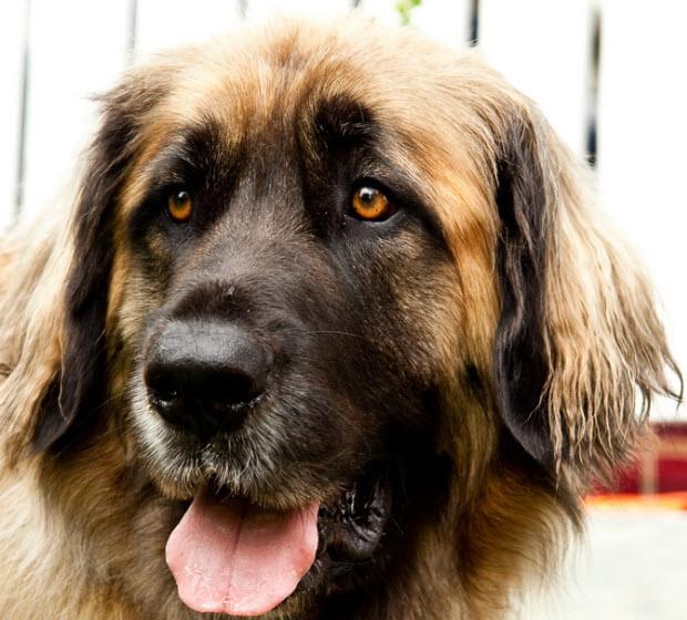 10 Shortest Living Dog Breeds