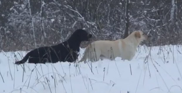 black-and-yellow-labradors-in-snow-playin-1