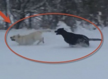 black-and-yellow-labradors-in-snow-playing