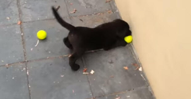 black labrador puppy playing with tennis ball