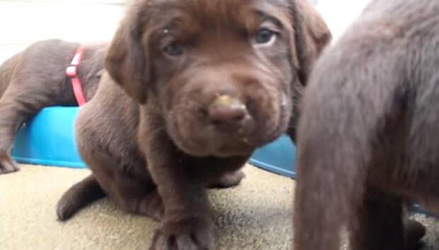 choc labrador puppies eating