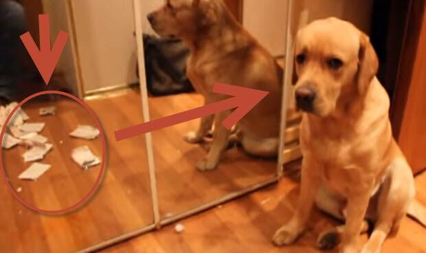 guilty-yellow-labrador