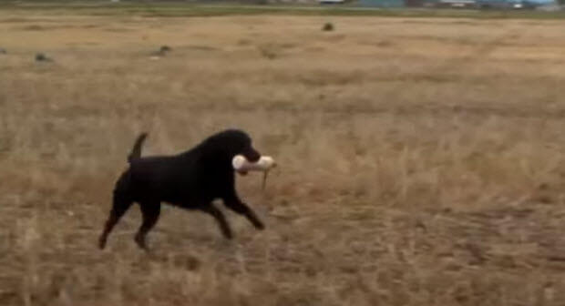 black labrador hunting dog