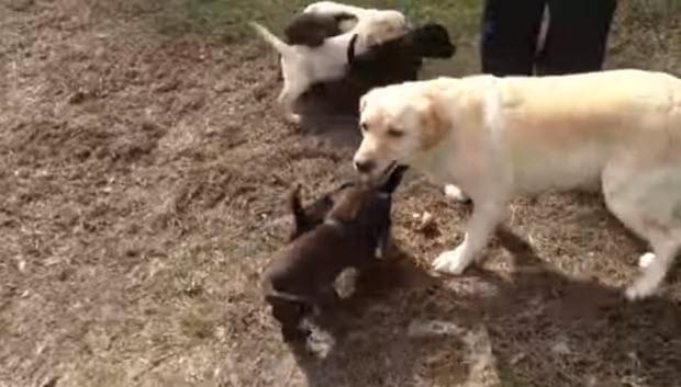 labrador-mama-with-puppies-3