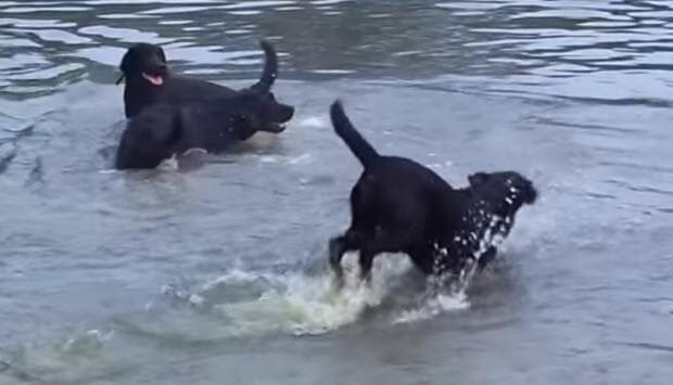 labrador-pack-playing-swimming-6-0