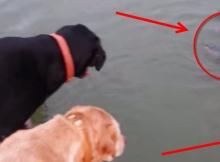 Labradors love to fish