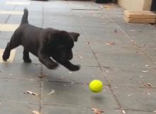 German Shepherd Puppy Playing Tennis Ball