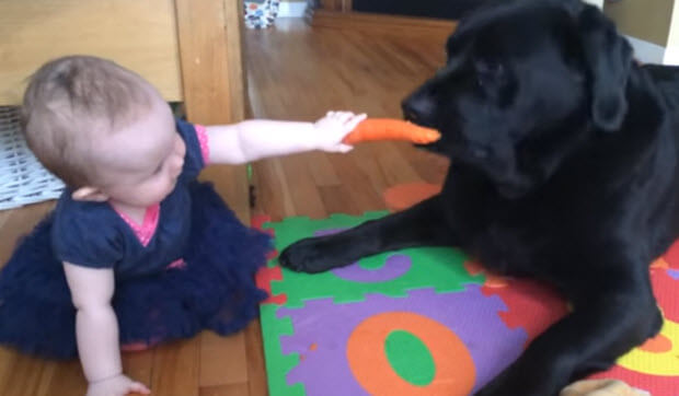 black labrador with carrot and baby