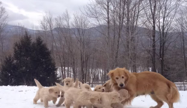 golden-retriever-puppies-playing-in-snow-2
