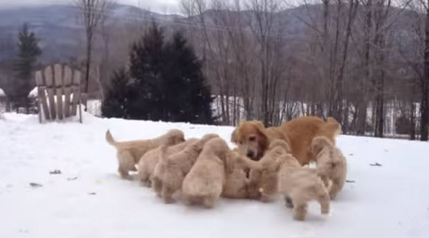 golden-retriever-puppies-playing-in-snow-3