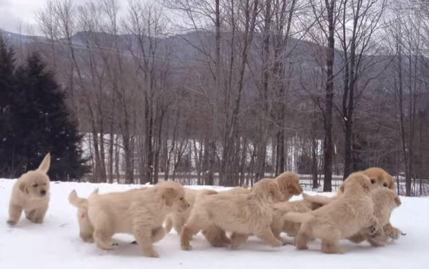 golden-retriever-puppies-playing-in-snow-7