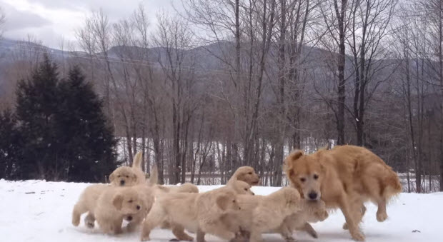 golden-retriever-puppies-playing-in-snow