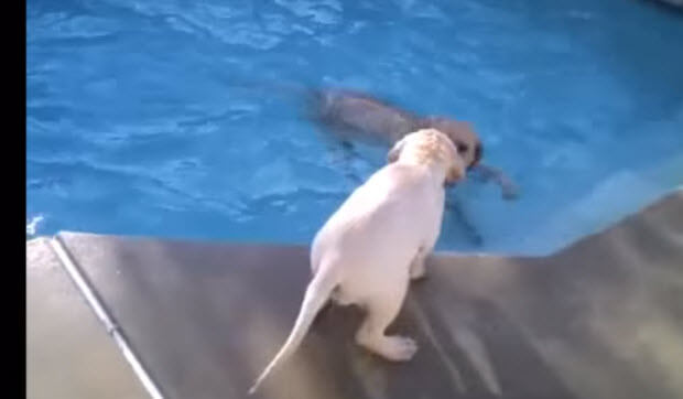lab puppy swimming with mom