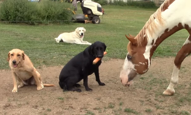 labrador-dog-feeds-carrot-to-horse-3