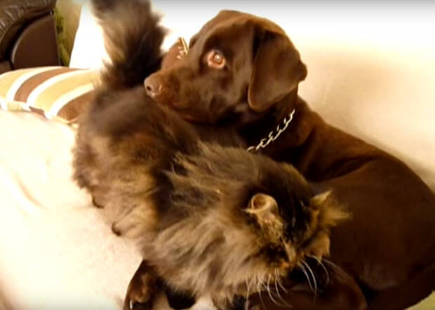 labrador-gets-massage-from-his-cat