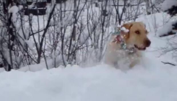 labrador-jumps-in-snow