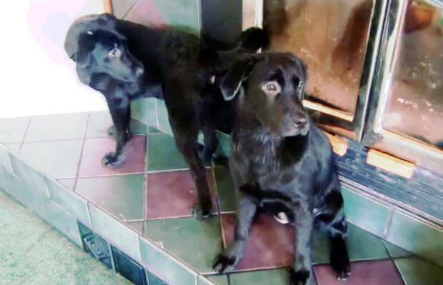 labrador-puppies-cuties