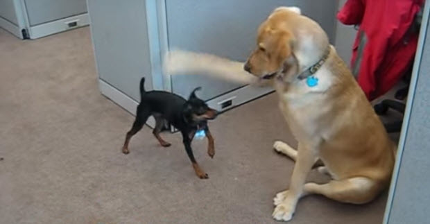 labrador-retriever-playing-with-min-pin
