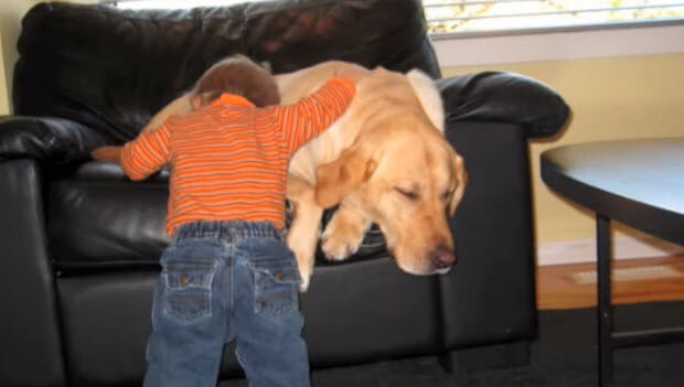 labrador retriever a true friend to this baby