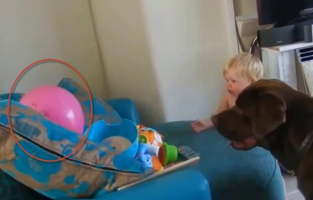 labrador retrievers with babies