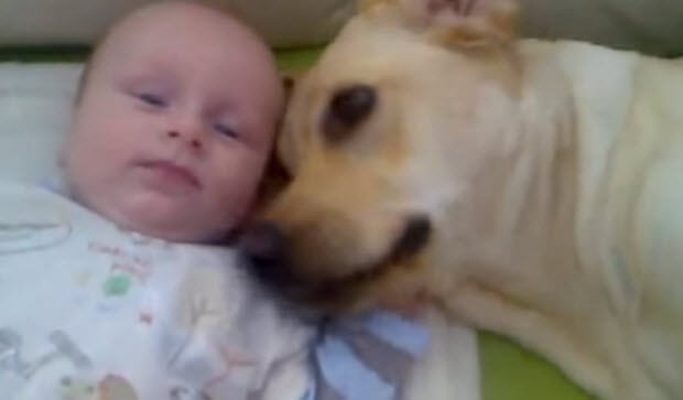 labrador with new born baby