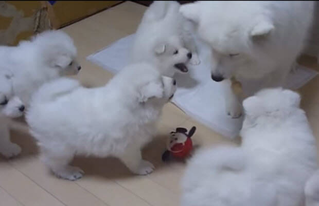 puppies-barking-and-playing-2