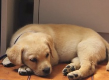 yellow-lab-puppy-first-week-home