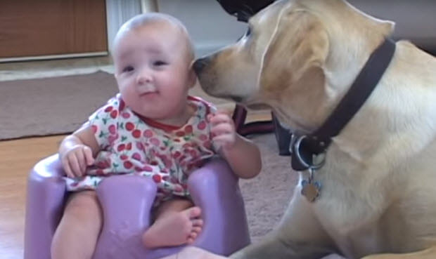 yellow-labrador-playing-with-baby