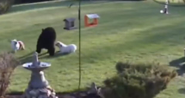 bear-chased-off-by-two-bull-dogs-2