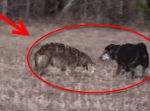 coyote attacks labrador dog