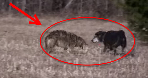 coyote attacks labrador dog