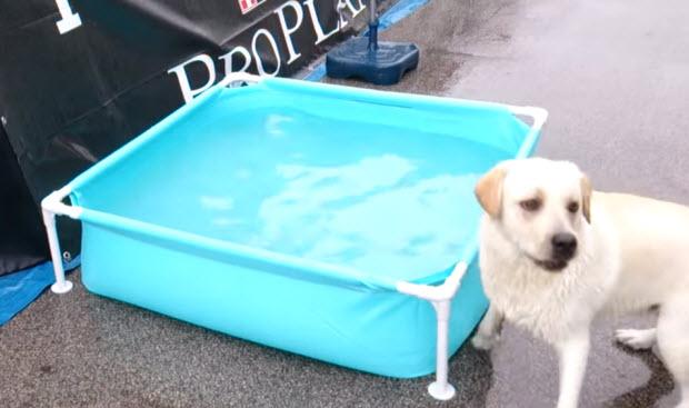 labrador-in-pool