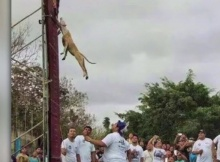 pit bull dog the wall climbing champion