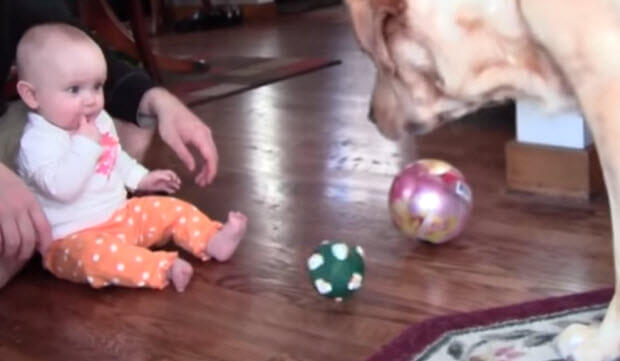 labrador-dogs-playing-with-babies-2