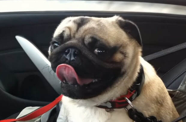 pug-looses-it-realizes-at-pet-store