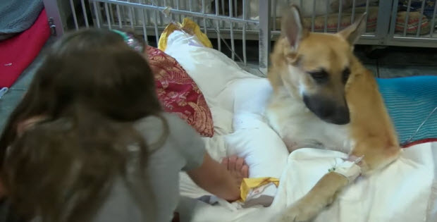 German Shepherd Saves Family Member By Putting His Life on The Line