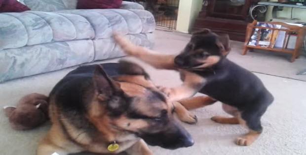 huge german shepherd playing with puppy
