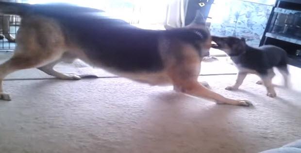 huge-german-shepherd-playing-with0-puppy-5